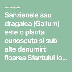 Sanzienele sau dragaica (Galium) este o planta cunoscuta si sub alte denumiri: floarea Sfantului Ioan, smantanica sau sanziene galbene, peteala reginei, san