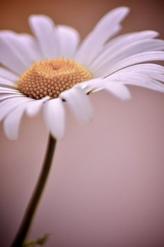 the daisy is my favorite flower, closely followed by the sunflower