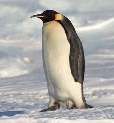 Emperor Penguin (Aptenodytes forsteri) by Samuel Blanc https://en.wikipedia.org/wiki/File:Emperor_Penguin_Manchot_empereur.jpg