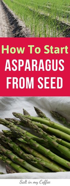 How to grow asparagus from seed! Such a great, frugal way to start a huge bed of wonderful asparagus, without breaking the budget! Growing Asparagus From Seed, Grow Asparagus, Growing Squash, Fast Growing Plants, Coffee Blog, My Coffee, Raising Rabbits For Meat, Perennial Vegetables, Homestead Gardens
