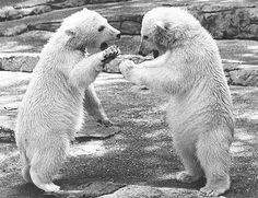 Polar bears at Woodland Park Zoo, 1975 Western Washington, Washington State, Woodland Park Zoo, Forever Green, Polar Bears, Vintage Photos, Seattle, The Past, Photograph