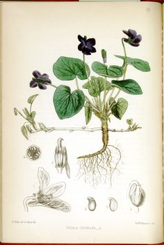 Viola odorata (Sweet Violet). Medicinal Plants (1880). Image and text courtesy USDA National Agricultural Library Special Collections