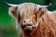 A highland cow sticking its tongue out by Will Clarkson - Stocksy United Highland Cow Art, Scottish Highland Cow, Highland Cattle, Miniature Cow Breeds, Miniature Cows, Cow Photos, Cow Pictures, Cow Pics, Cute Baby Animals