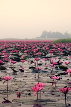 photographie//Sea of Red Lotus, Udon Thani, Thailand. Beautiful World, Beautiful Places, Beautiful Pictures, Jolie Photo, Land Art, Amazing Nature, Wonders Of The World, Mother Nature, Places To See