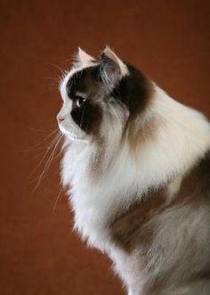 ragamuffin cat - Google Search