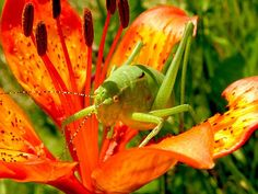 Free Photo: Grasshopper, Martagon Lily, Flowers - Free Image on Pixabay - 99555 Pictures Images, Nature Pictures, Free Pictures, Free Stock Photos, Free Photos, Free Images, Public Domain, Martagon Lily, Aquarium