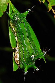 Nettle slug caterpillar