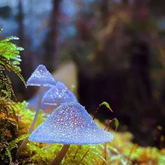These clearish blue mushrooms that can be found at Duckabush River Trail Olympic National Park (Does anyone know the name? Mushroom Art, Mushroom Fungi, Mushroom Pictures, Plant Fungus, Nature Aesthetic, Wall Collage, Flora, Stuffed Mushrooms, Wild Mushrooms