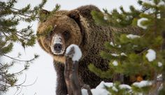What happens when Bears in Yellowstone hibernate?  Grizzly bear in the canyon area on Nov 20, 2014. Photo by NPS Neal Herbert