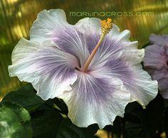 Hibiscus rosa sinensis - Tahitian Princess                                                                                                                                                                                 More