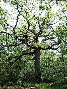 Chêne des Hindrés - Forêt de Brocéliande