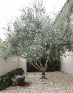 Front Yard Garden Design Olive Tree by Matthew Williams - Short on water, funds, inspiration? Gardenista has been taking a look at landscaping with less this past week. Collect rainwater for watering the garden: 1 Baumgarten, Gravel Garden, Pea Gravel, Gravel Front Garden Ideas, Gravel Driveway, Olive Tree, Garden Trees, Backyard Landscaping, Landscaping Ideas