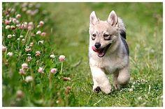 Swedish Vallhund/ Västgötaspets puppy and red clover :) More
