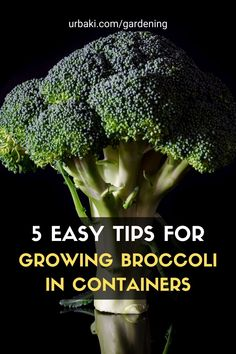 Grow broccoli in containers easily with these 5 tips you'll find in this short video tutorial, and you'll soon be harvesting a crop of broccoli in your garden in no time. Container gardening isn't limited to small vegetables, even a large vegetable plant like broccoli can be grown in a pot on a balcony or patio. #urbakigardening #gardening #broccoli #growbroccoli #broccoliincontainer #vegetables #growvegetables #vegetablescontainers