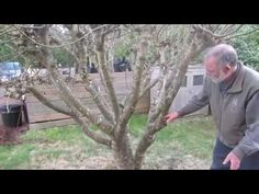 How to prune figs in a cool climate for first (breba) crop fig production - YouTube