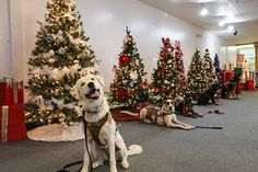 Phantom wants to know if you will be joining her and her friends this weekend at Semper Festival of Trees event at the Manassas Mall! Service Dogs, Mall, Trees, Christmas Tree, Friends, Holiday Decor, Amigos, Xmas Tree, Boyfriends
