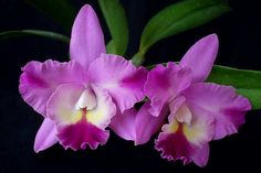 Cattleya Dendi's Song 'Monaco' - Orchid Council of New Zealand Inc.