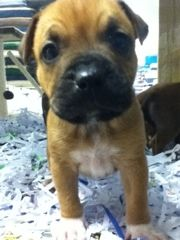 These stunning English Staffy x French Mastif is  beautiful little #puppy with big personalities   #puppies