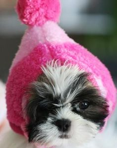 This cutie's name is Miss Daisy. Teacup shih tzu