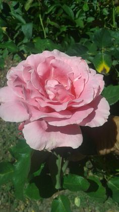 Bewitched rose - fabulous, large pink blooms