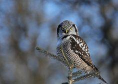 Northern Hawk Owl...#23