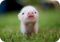 Fuzzy the pig | photo via Daniela Blume hello-foto