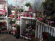 Wandering into the plantaria, customer flow is controlled by the white crates, and even in early March there is colour, colour colour at Ferndale Garden Centre