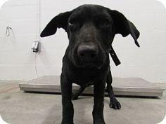 Corona, CA - Labrador Retriever Mix. Meet Kennel 55 Medical, a puppy for adoption. http://www.adoptapet.com/pet/15763917-corona-california-labrador-retriever-mix