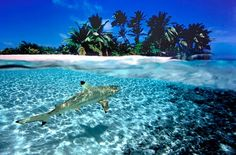 Shark in clear shallow water.