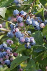 Lækre blåbær til sommer!