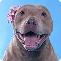 Pictures of Martina a American Pit Bull Terrier\/American Staffordshire Terrier Mix for adoption in Chicago IL who needs a loving home.