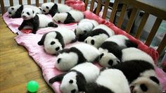 Panda cubs :) That is all.