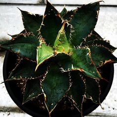 Agave titanota Filigree  #titanotacollections #Agave  #アガベ  #チタノタ  #チタノタコレクション  #多肉植物
