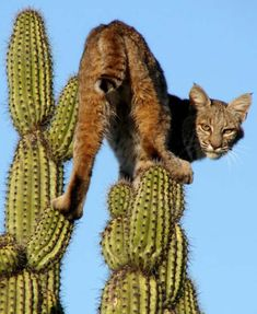 """Bobcat (Lynx rufus) I searched for """"cactus cat"""" and this was the first thing that popped up. Big Cats, Cats And Kittens, I Love Cats, Ragdoll Kittens, Kitty Cats, Animal Gato, Mundo Animal, Beautiful Cats, Animals Beautiful"""