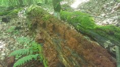 Decaying tree and moss