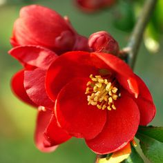 Japanese karin (quince)