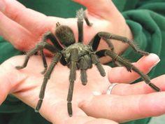 Californa's Tarantulas Are on the Move During Mating Season