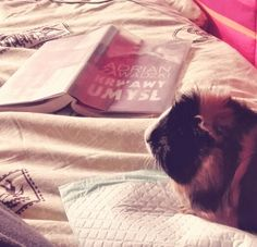 Inteligent hour (quinea pig)