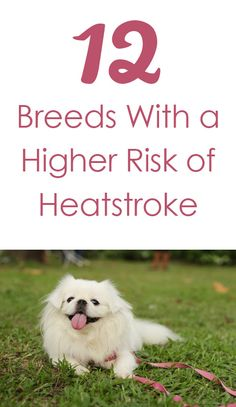 12 Dog Breeds With a Higher Risk of Heatstroke http://iheartdogs.com/12-dog-breeds-with-a-higher-than-average-risk-for-heatstroke/