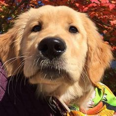 All dogs love a great massage, but Golden Retrievers lover them more than most. Best Dogs For Families, Family Dogs, All Dogs, I Love Dogs, Dog Friends, Best Friends, Puppy Stages, Funny Animals, Funny Pets