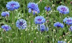 cornflowers.  I want to grow them, and pick them and make necklaces like the lady travelers in A Room with a View (the movie.)