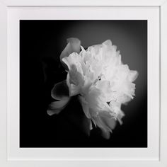 A White Peony by Qing Ji at minted.com