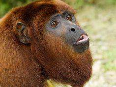 Red-Howler-Monkey