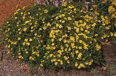 Hibbertia obtusifolia - X shade gardens Australian Native Garden, Australian Plants, Acer Rubrum, African Plants, Family Show, Native Plants, Shade Garden, Creepers, Shrubs