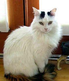 9a009b20d6b2d6 Turkish Van Cat -  catbreeds  turkishvancat