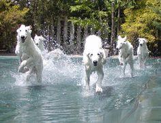 borzoi   haley the flying borzoi puppy pool party