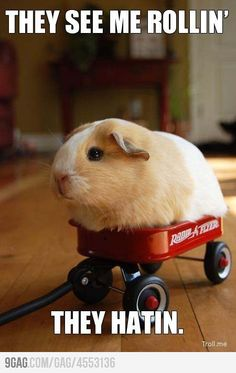 Gangsta guinea pig is gangstADORABLE!