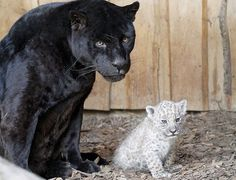 World's first white jaguar born in captivity and Mom. <3