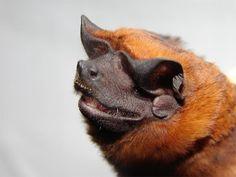 Bonda Mastiff Bat Molossus bondae
