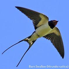 Barn swallow (Hirundo rustica) Big Bird, Small Birds, Colorful Birds, Little Birds, Love Birds, Beautiful Birds, Pet Birds, Bird Template, Barn Swallow
